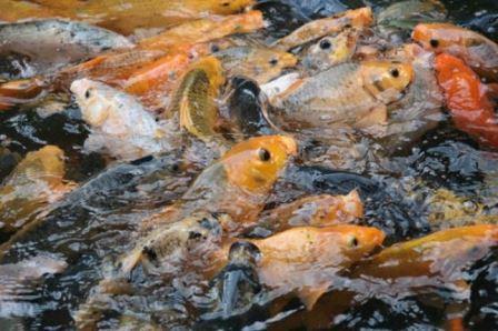 Aroma Pengumpul Ikan Mas Terbukti Ampuh !!