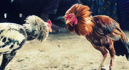 3 Jamu Ayam Bangkok Aduan Tradisional Ampuh !!
