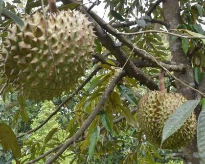 Pemupukan untuk Merangsang Bunga Durian !!