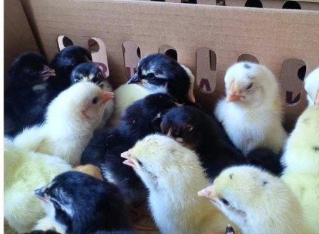 4 Tips Beternak Ayam Kampung Yang Efektif !