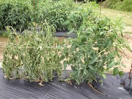 Cara Ampuh Pengendalian Penyakit Pada Tomat !!